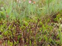 jonge vegetatie dopheide 12