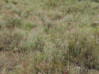oudere natte dopheide vegetatie 3