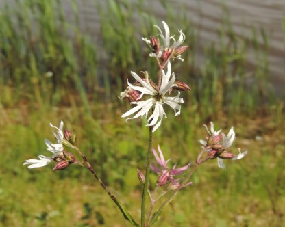 witte bloem 8