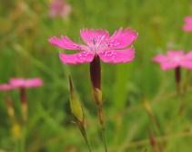 dianthus deltoides 4