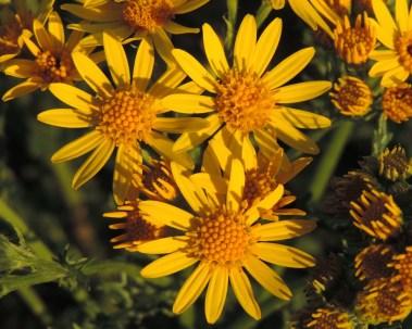 bloemen jacobskruiskruid 1