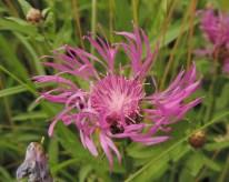 knoopkruid met een ontvouwende bloem (2)