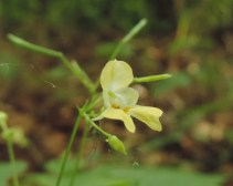 bloem klein springzaad