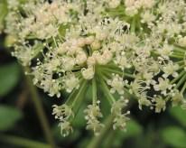 engelwortel fragment bloem (1)