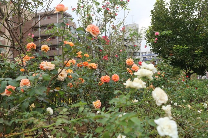 Roses with different colors