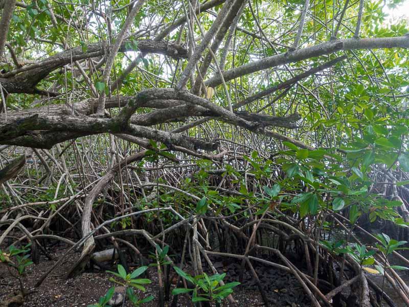 """Les Trois Ilets: ungewöhnliche Pflanzen diese Mangroven. Ihre Wurzeln reichen ins Salzwasser und es gibt nur wenige """"Landpflanzen"""" die daraus ihre Nahrung bekommen können"""