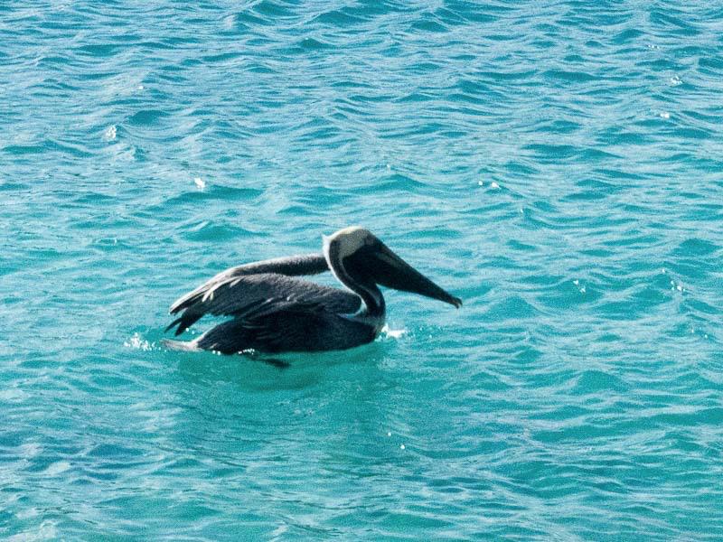 British Virgin Island: der erste fotogene Pelikan