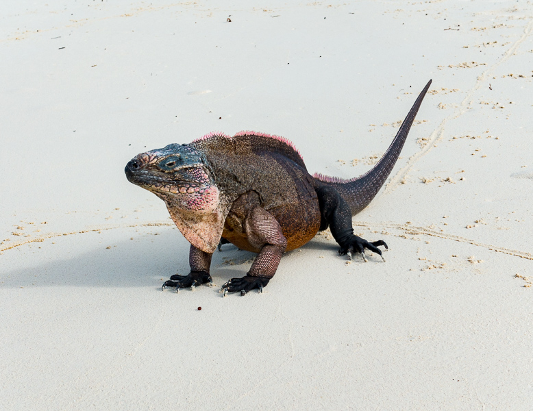 Iguanas auf Leaf Cay: einer der Chefs