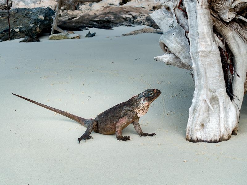Iguanas auf Leaf Cay: ein junges Exemplar