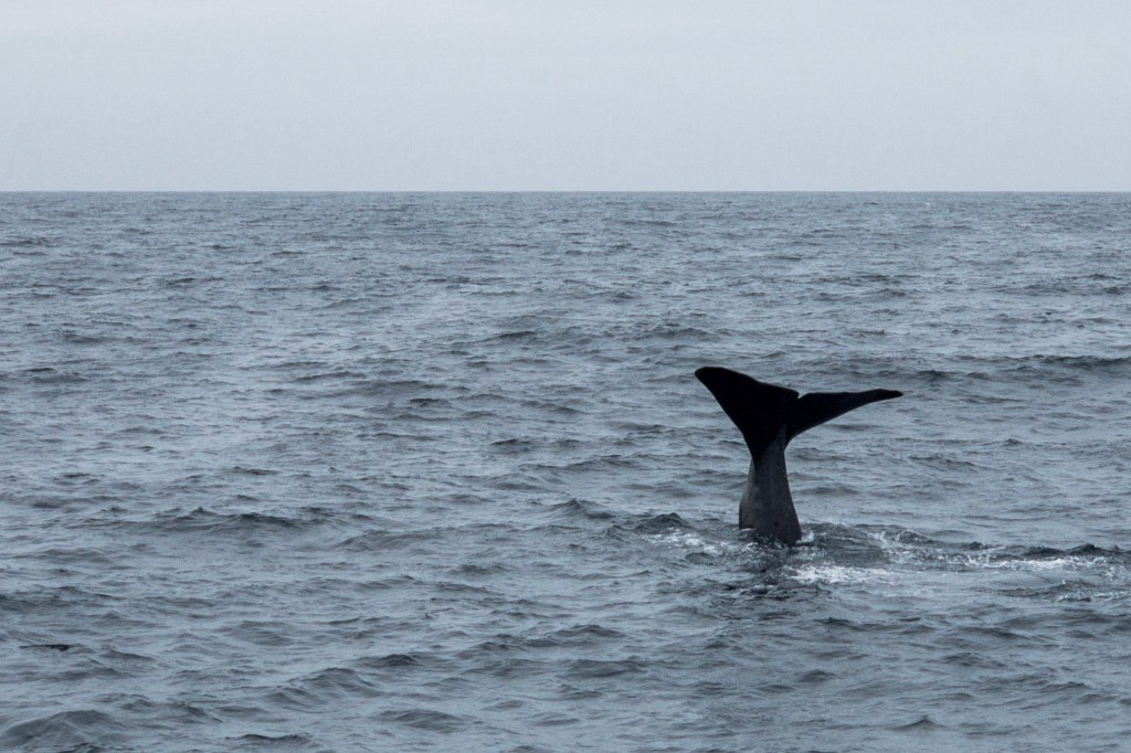 Der Moment auf den alle warten. Der Wal taucht ab
