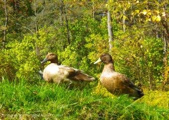 Brave ducks