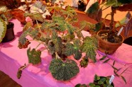 Various begonias on display