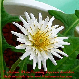 Dandeliion-White flowering Japanese dandelion,T_albidum01, Misato Oki(Mokimisato  talk) final
