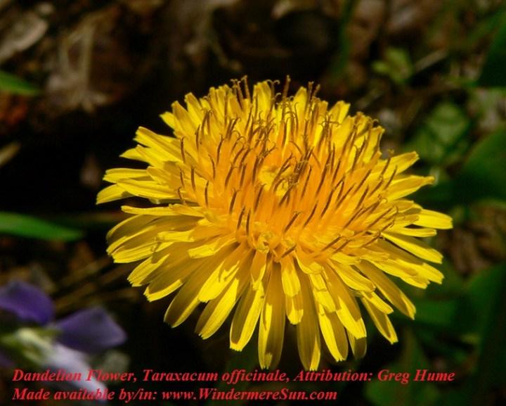 Dandelion-Flower, Taraxacum officinale, Attribution by Greg Hume final