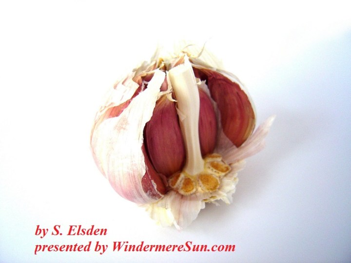 Garlic -by-S Elsden