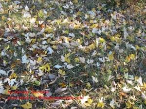 Maple Leaves (credit: Jeremy Doorten)