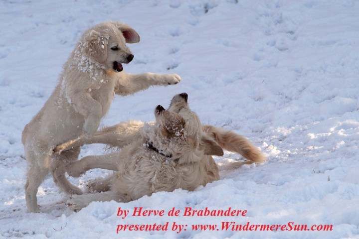 dogs-in-the-snow-1-1402409, freeimages, by Herve de Brabandere final