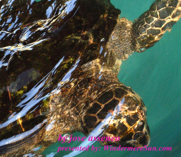 sea-turtle-2-1370079, freeimages, by jose assenco final