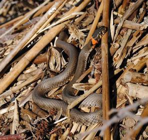 grass snake, natrix natrix, Finland