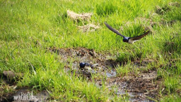 Barn swallows by Jay's Wildlife. Wind from the North