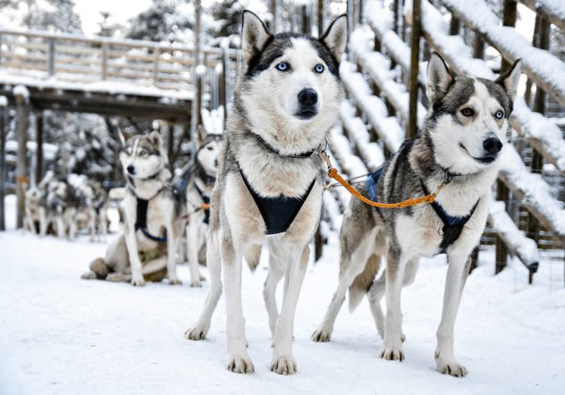 Siberian huskies in Lapland a team of sled dogs