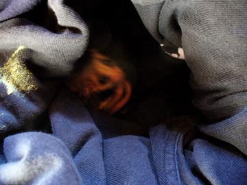 pygmy_possum2