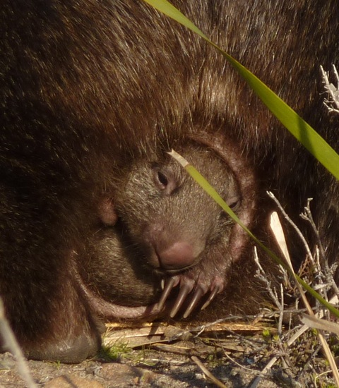 Baby Wombat: Life On The Edge