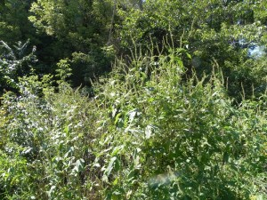 photo of ragweed