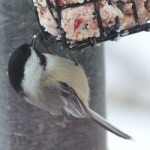 Chickadee on suet