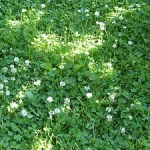 Clovers in lawn
