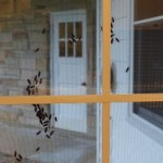 Box Elder bugs on outside window