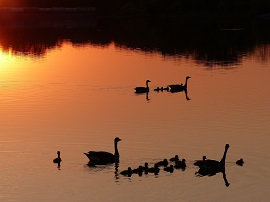 Geese Families