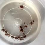 Ticks In Jar