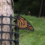 Monarch on a tree.