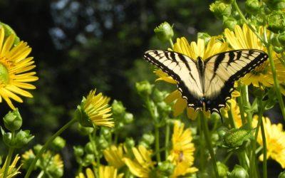 Swallowtail Soiree