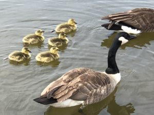 Adult goose and goslings