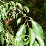 What Kind of Cherry Trees Should I Plant?