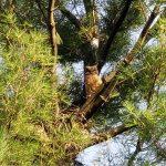 Owlet No. 2