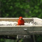 Red bird on a feeder