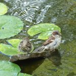 Two birds bathing in a pond.