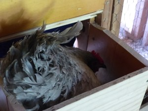 Broody Hen in a nest