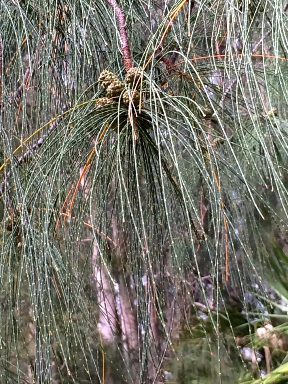 Australian Pine Close Up