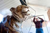 Monte Paddleford gives the tiger a good cleaning before she arrived on Brenau's campus. The over 1,800 mile drive from Lander, Wyo., to Gainesville, Ga., on an open trailer left her a little dusty.