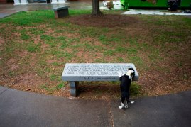 One of the puppies from the Hall County Animal Shelter takes a drink from a bench near the gazebo on Brenau's Gainesville Campus. The puppies were provided by the Hall County Animal Shelter as a stress relief during finals week.