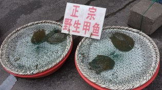 These fresh turtles were on sale at a store selling freshwater foods just a few blocks from the Yangtze.