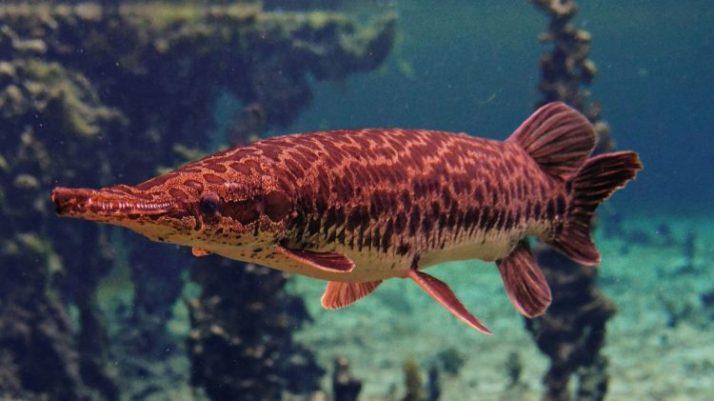 ikan aligator dengan harga murah