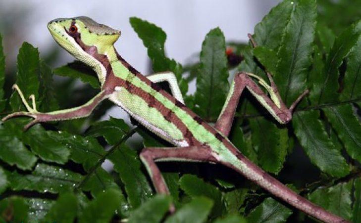 corak dari iguana Laemanctus yang berbeda-beda, namun tak sulit untuk merawat iguana ini