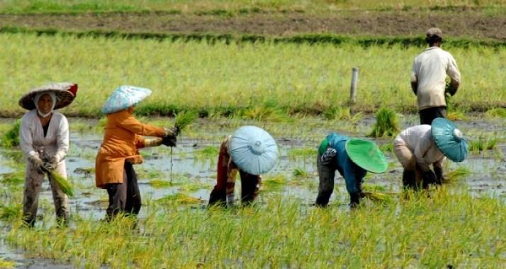 Para penandur yang sedang tandur atau menanam padi
