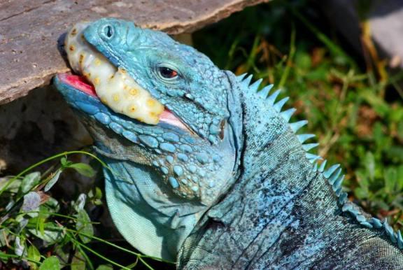 perawatan bagi jenis iguana biru tidak terlalu suilit, cukup dengan memberikan iguana biru buah atau sayuran