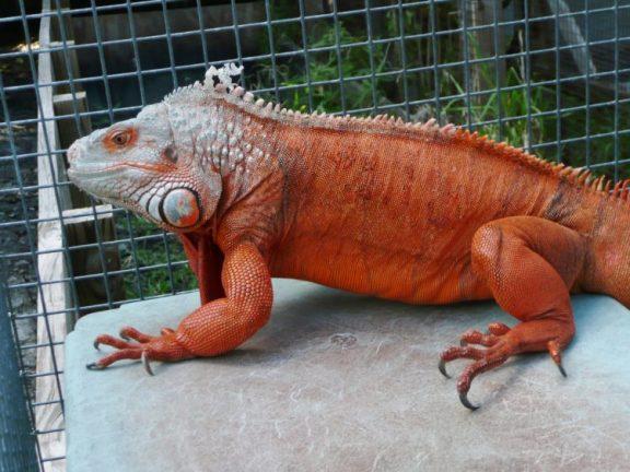 jenis iguna red ini bisa tumbuh besar dengan cara merawat iguana ini sangat mudah